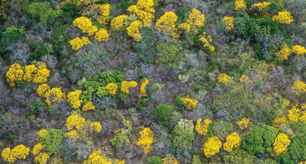 Imagen aérea del bosque seco, Lomas de Bambudal con la floración del cortez amarillo –Tabebuia ochracea. © Fundación Árboles Mágicos.